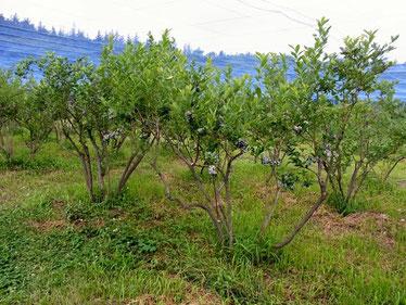 ブルーベリーの木々