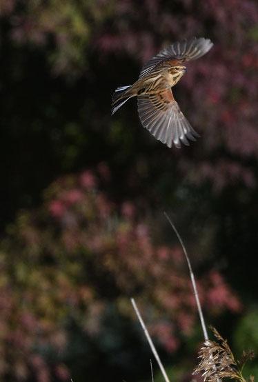 ●オオジュリンの飛び出し(今回撮影)