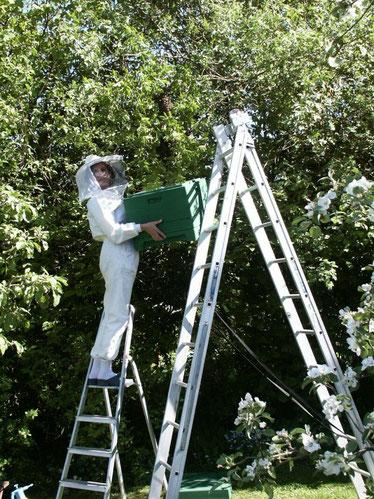 Marianne Kehres beim Einfangen eines Bienenschwarms