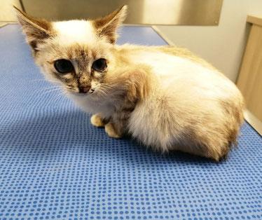 chaton siamois sur une table de soin de vétérinaire.