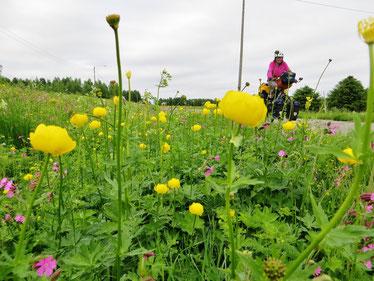 """Wunderschön, die vielen """"Ankebälli"""" (Trollblumen) an unserer Strecke."""