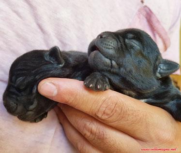 Allevamento Staffordshire Bull Terrier Villamagna Dogs