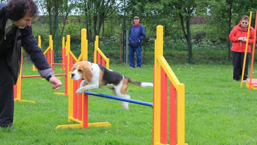 Der Beagle braucht viel Bewegung