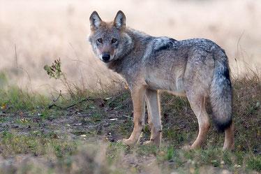 Bild: nabu-wolf-munster-nord-jürgen-borris