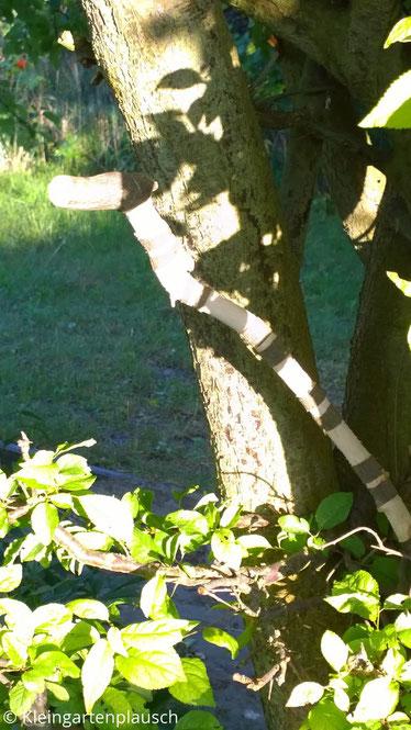 Baumschlange aus Holz in Kirschpflaumenbaum
