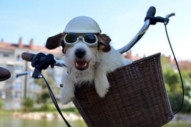 Hund mit Brille und Helm in Fahrradkorb