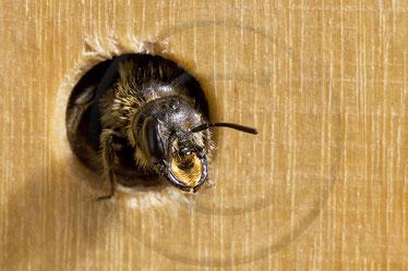 Hahnenfuß-Scherenbiene Osmia florisomnis Blick Niströhre