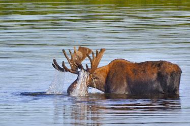 Ein Elch läßt sich das Seegras schmecken