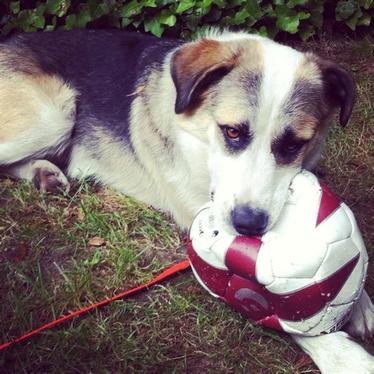 Hund mit Ball im Maul schaut in Kamera