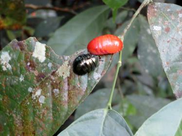脱皮直後のニジイロゴキブリ幼虫。
