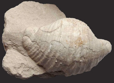Gigantoproductus giganteus, Karbon, Region Moskau, 11,5 cm breit