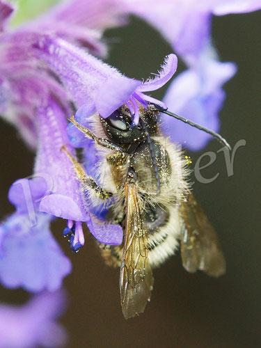Bild: Wildbiene (Mauerbiene) an der Katzenminze