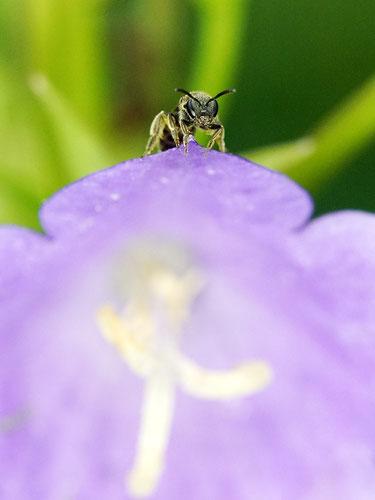 Bild: kleine Furchenbiene an der Pfirsichblättrigen Glockenblume