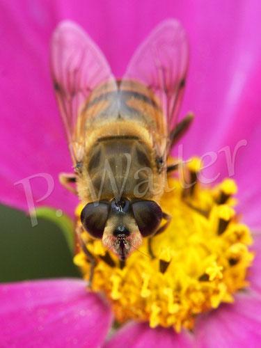 Bild: Schwebfliege trinkt Nektar an einer Cosmee