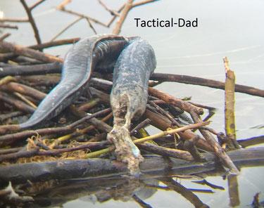 Da der Aal einem Kormoran vermutlich zu groß war hat er den Rest auf einem Schwanennest zurück gelassen.