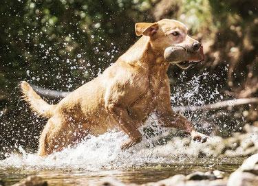 Labradorzucht Niederösterreich