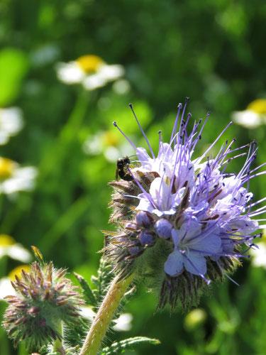 Aber auch die ganz kleinen Wildbienen kommen vorbei.