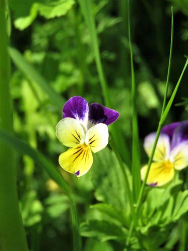 Viola arvensis subsp. megalantha