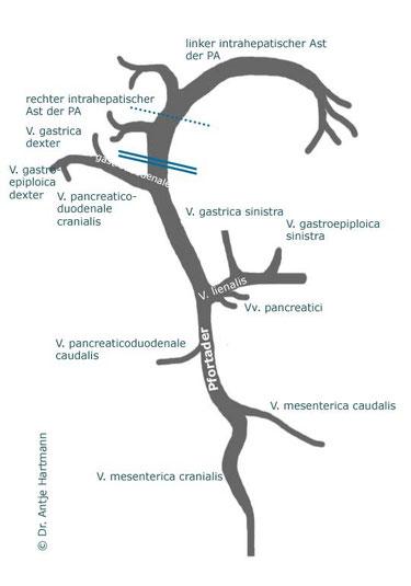 Portosystemische Shunts made easy! - vetradiologies Webseite!