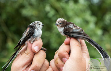 Long- tailed Tit ( Aegithalus caudatus) ad. on the left and juv. on the right