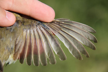 (c) Dave Lutgen wing of an adult willow Warbler (Phyll. trochilus ) in postbreeding moult