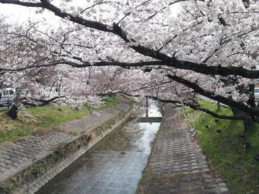 奈良県大和高田の桜