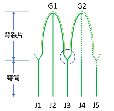 圖1 萼筒の条と萼裂片の模式図(一部)