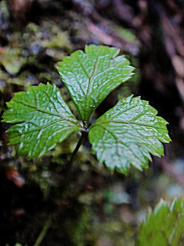 #4 キタヤマオウレンの葉  葉脈が目立ちます