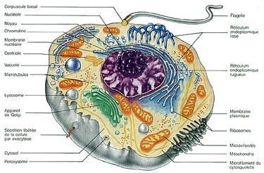 Anatomie et fonction des cellules - Cliquer pour agrandir