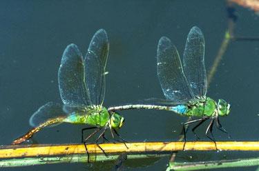 ギンヤンマの連結(左♀、右♂)