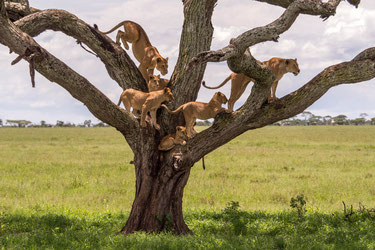 Pack of lions resting in a tree, Serengeti National park