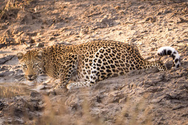 Drinking leopard, Kruger National park