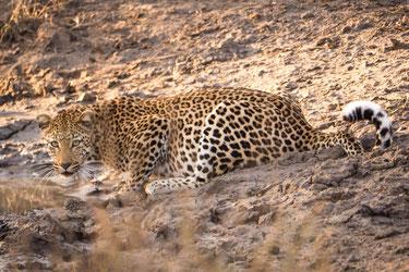 Drinking leopard, Kruger National park