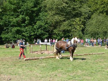 Das Holz rücken mit Pferden ist ein wesentlicher Bestandteil der Arbeit mit Pferden. Im Wald schonen sie den Boden deutlich im Vergleich zu schweren Maschinen. Der Einsatz lohnt sich für Waldbesitzer wie Naturschützer definitiv.