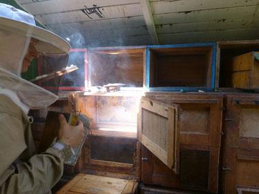 Im Bienenwagen sind wir mit Rauch aus dem Smoker bei der Honigernte. Das Bienenvolk sitzt auf seinen Waben, die wir nun entnehmen, um den Honig zu schleudern.