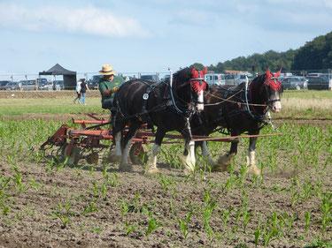 Der junge Mais wurde extra für diese Veranstaltung ausgesäht, sodass die verschiedenen Geräte zur Ackerbearbeitung vorgeführt werden können. Hier wird eine rein mechanische Hacke vorgeführt, welche von zwei großen Shire Horses gezogen wird.