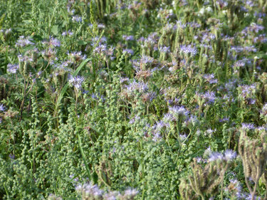 Einige Phacelia-Blüten, auch Buschelschön, Bienenweide oder Bienenfreund genannt, wird in der Imkerei gern gesehen. Der Nektar bringt für die Bienen und den Imker jede Menge Honig. Sie blühen herrlich blau.