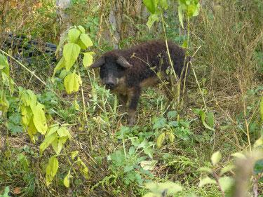 Horst, unser kleiner Wollschwein-Eber ist ein kleiner, sehr schlauer Bursche, der häufig Ausbruchsversuche unternimmt. Auf unserem hof im schönen Fläming ist er erst in diesem Jahr gekommen. Er hat sich sehr schnell eingewöhnt.