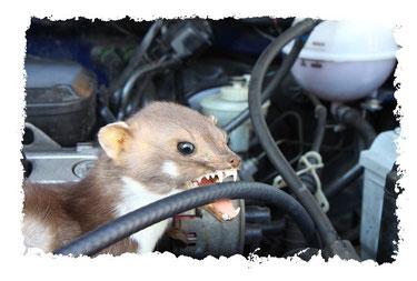 Marder im Motorraum des Autos Marderschaden Kühlschlauch