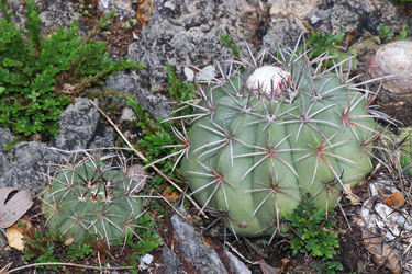 Melocactus sergipensis am Typstandort, at type locality