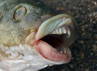Vieille laissant voir ses dents.