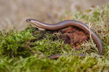 Reptilien Blindschleiche NABU Düren