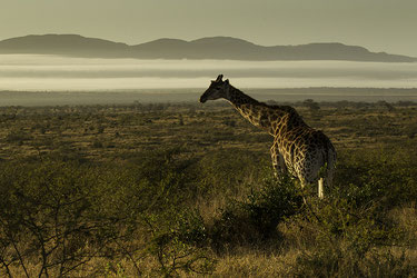 Giraffe with beautiful morning light in the landscape