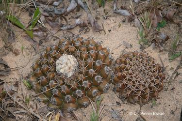 Discocactus hartmannii ssp. patulifolius