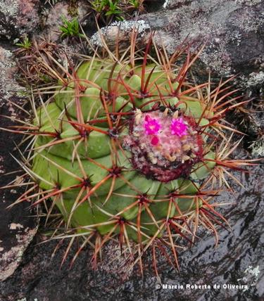 Melocactus inconcinnus