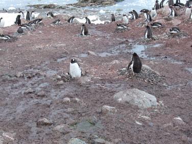 石を積んだ巣で卵を抱いている親ペンギンも