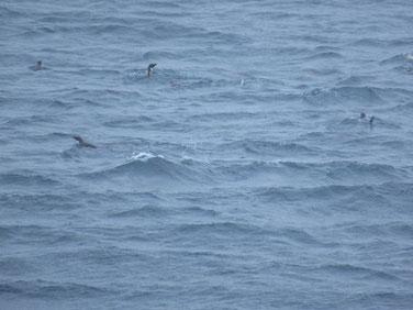 海上を自由自在に泳いでいるペンギン