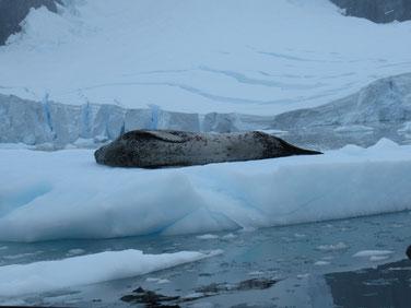 南極アザラシ