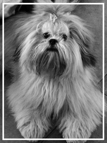 Lhasa Apso Pups, lhasa apso kennel