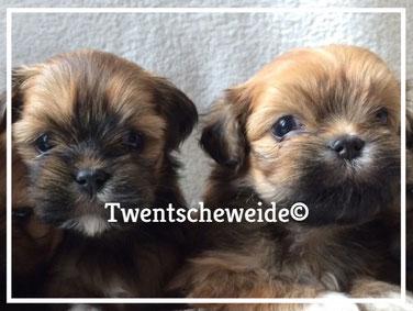 lhasa apso pups met stamboom